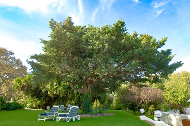 Sunbeds under beautiful huge tree in garden of Hotel Cellars Hohenort, South Africa royalty free stock photography