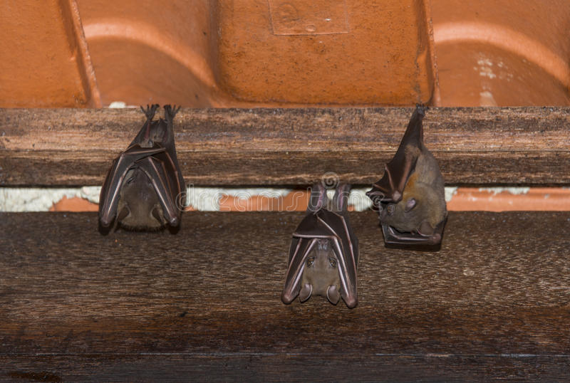 Resting Bat on Roof stock photo