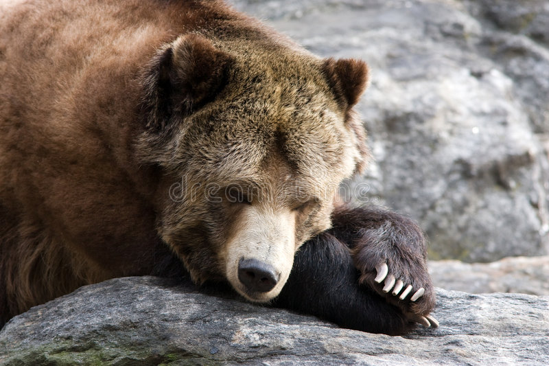 Download Resting Bear stock photo. Image of hibernate, stress, relax - 8034312