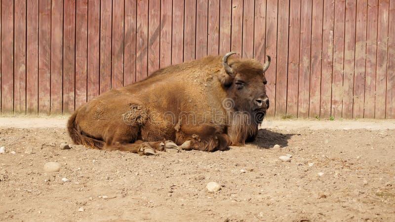 Resting Bison in de dierentuin stock foto