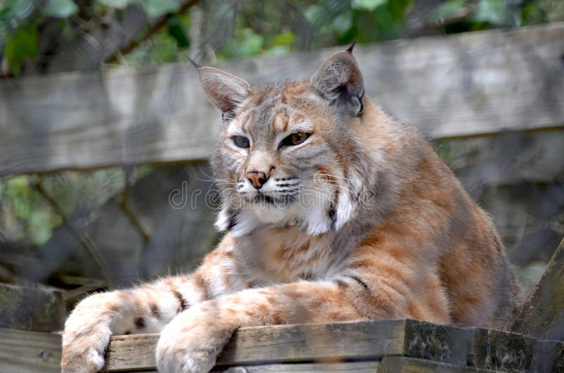 Resting Bobcat royalty free stock image
