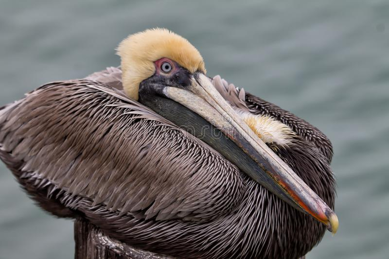 Resting brown pelican perched on wooden pier stock images
