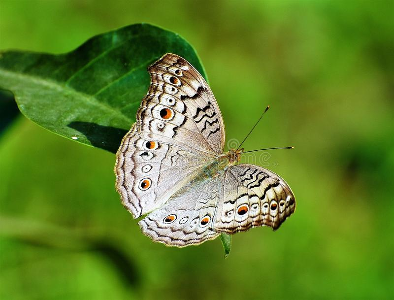 Resting butterfly. A beautiful butterfly is resting on a plant leaf and taking a sunbath stock image