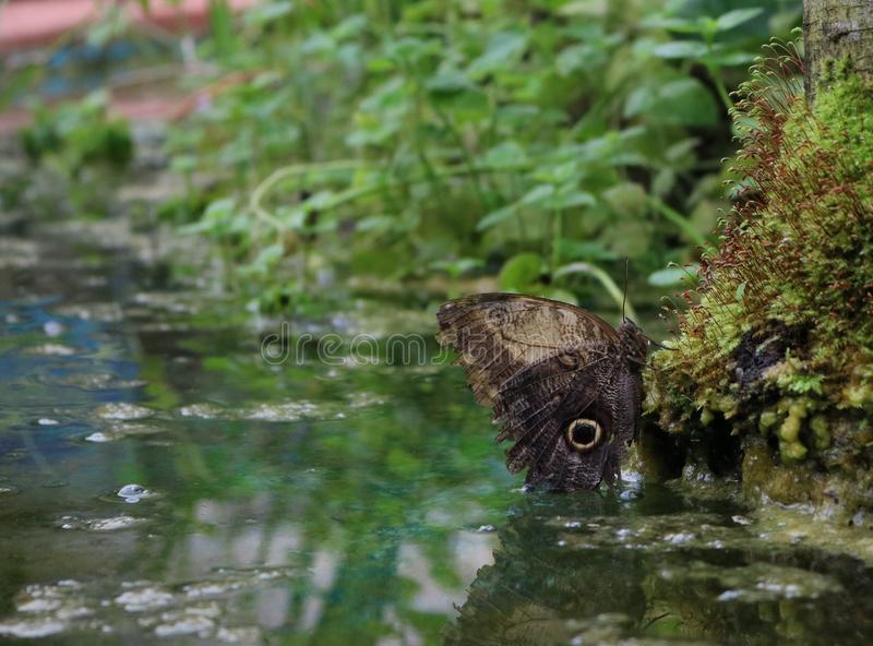 Resting butterfly on moss above a pool royalty free stock photo
