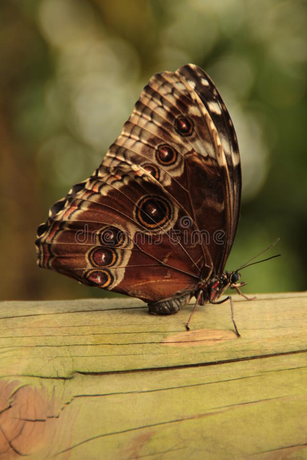 Resting butterfly royalty free stock photos