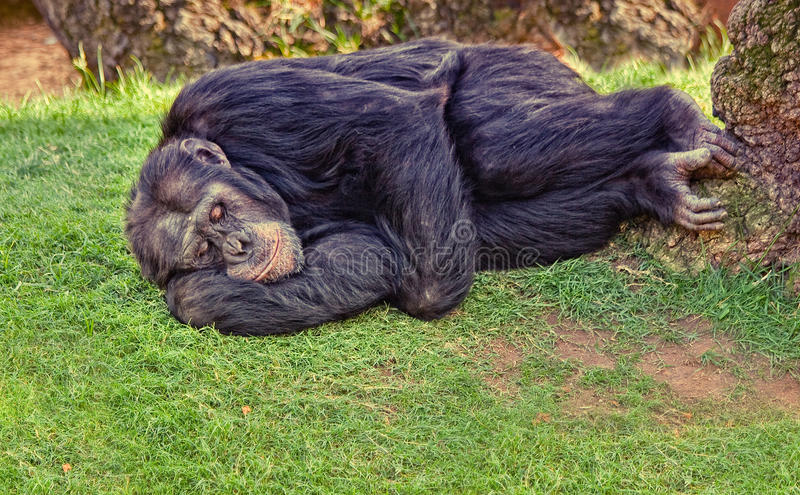 Resting chimpanzee. Monkey on the ground (photo royalty free stock photo
