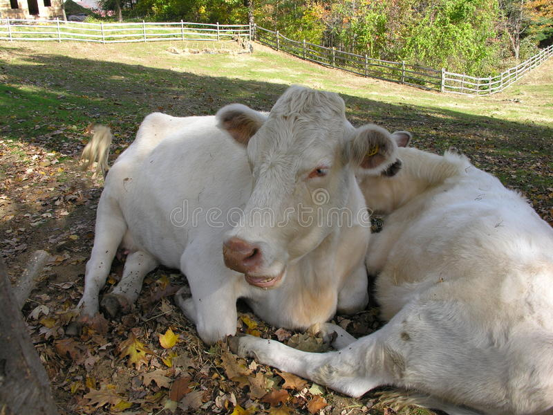 Resting Cows Royalty Free Stock Photo