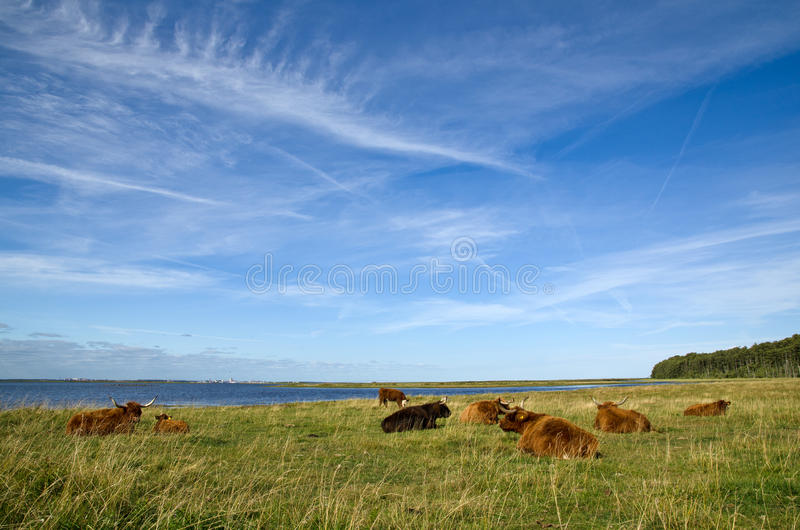 Download Resting cows stock photo. Image of animals, meadow, island - 26732620