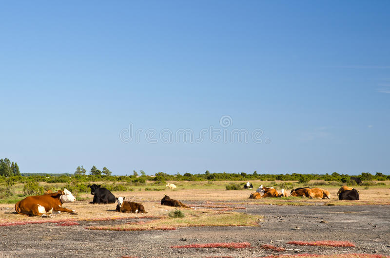 Resting cows a hot summer day stock image
