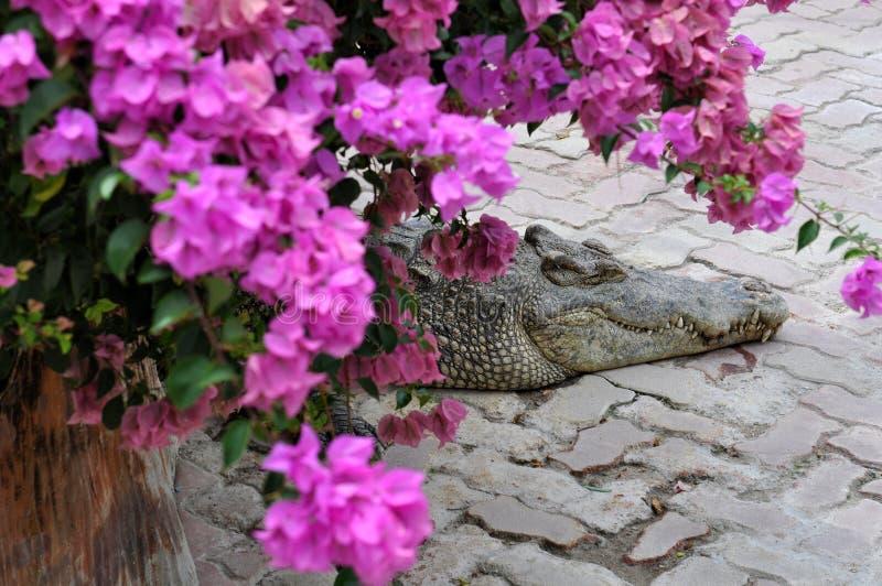 Download Resting Crocodile stock image. Image of color, danger - 25550359
