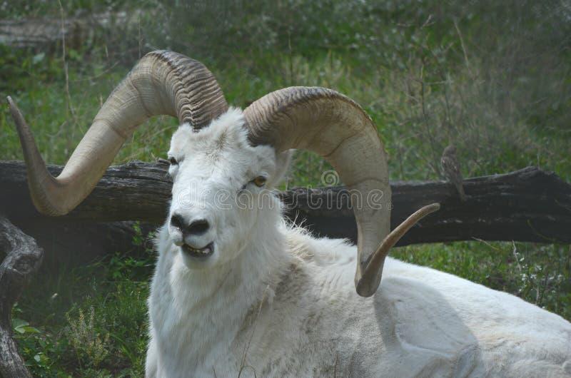 Resting Dall Sheep Ram royalty free stock photo