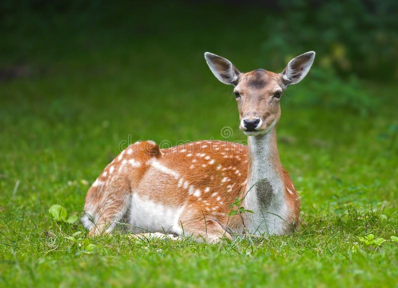 Download Resting doe stock photo. Image of looking, gentle, interested - 3001290