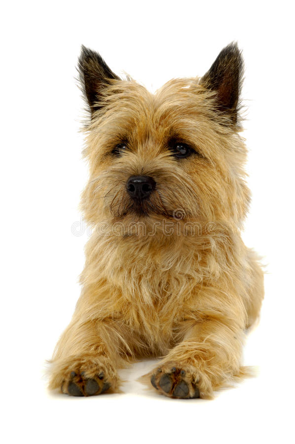 Resting dog. Dog is resting on a white background. The breed of the dog is a Cairn Terrier royalty free stock image