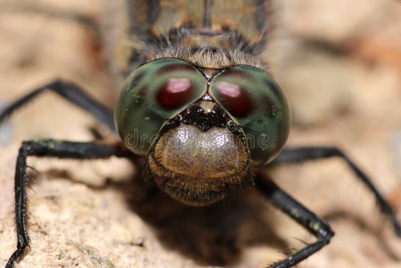 Resting dragonfly stock photo