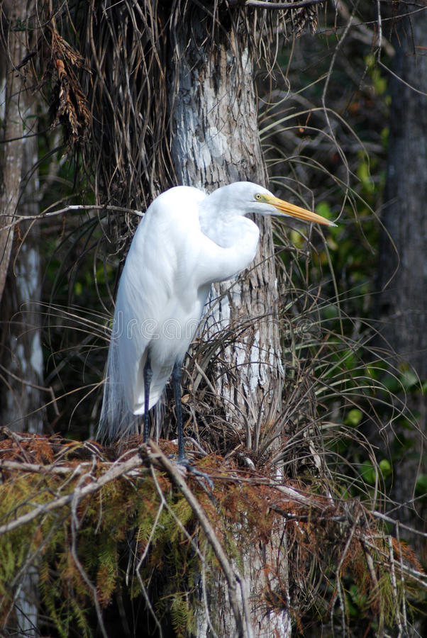 Resting Egret. This beautiful egret sat perched on a bald cypress tree just off Loop road in Big Cypress National Park royalty free stock photography