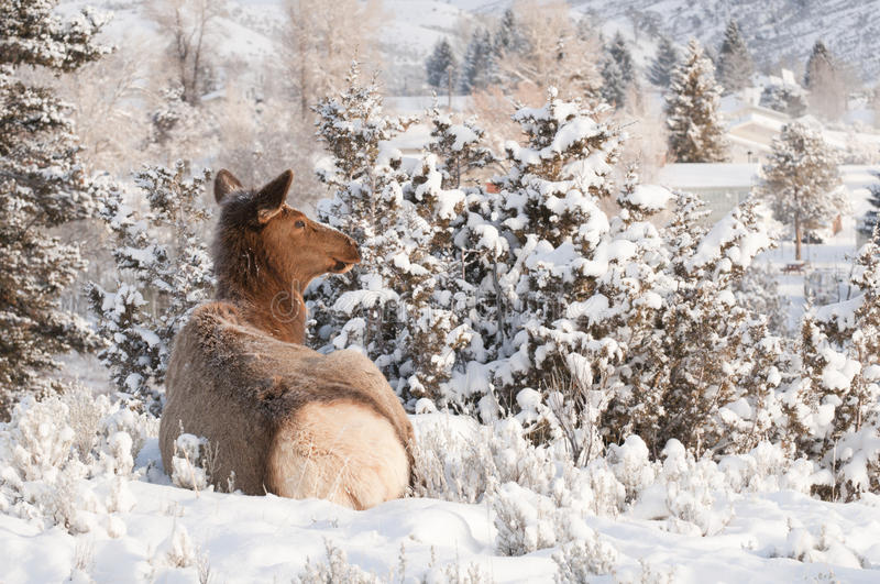 Download Resting Elk stock photo. Image of america, animals, wyoming - 13653498