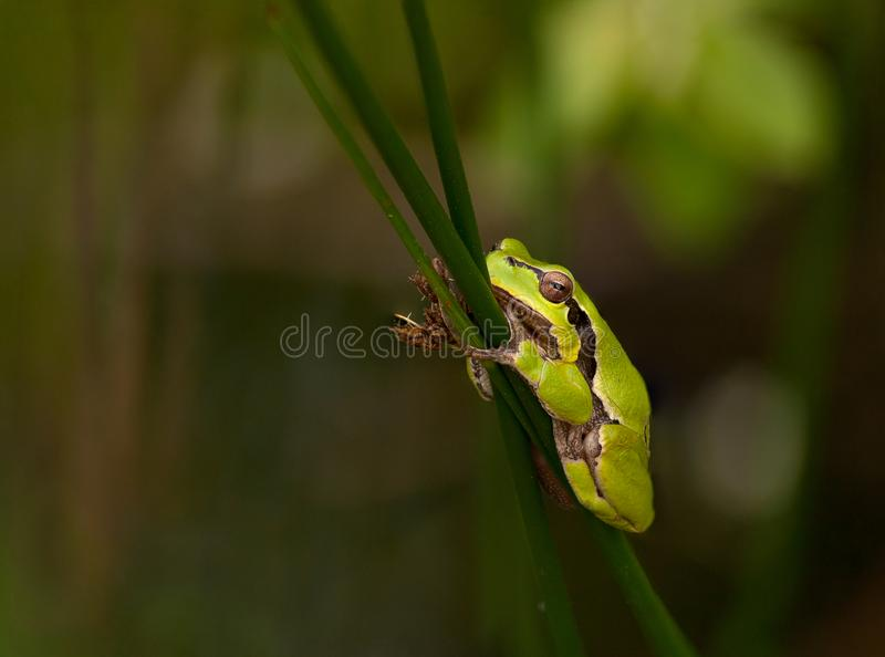 Resting european tree frog with green background, Czech Republic royalty free stock images