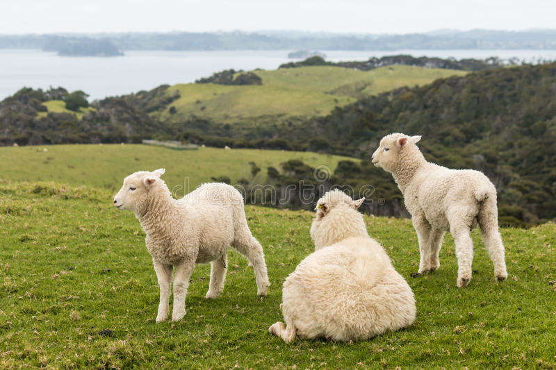 Resting ewe with two lambs royalty free stock photo