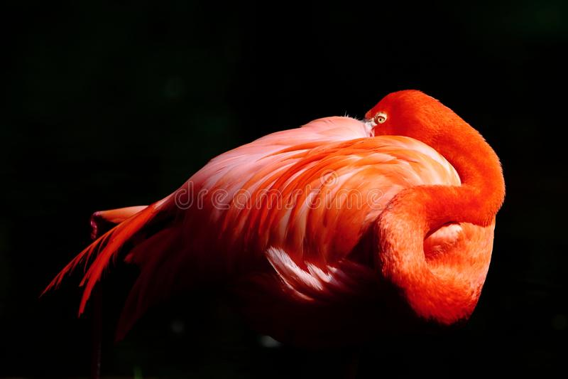 Resting Flamingo Stock Image