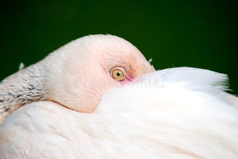 Resting Flamingo Portrait royalty free stock photos