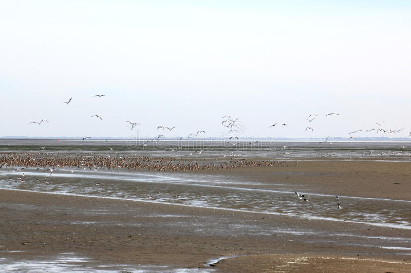 Resting and flying ducks in Waddenzee, Ameland, Holland royalty free stock photos
