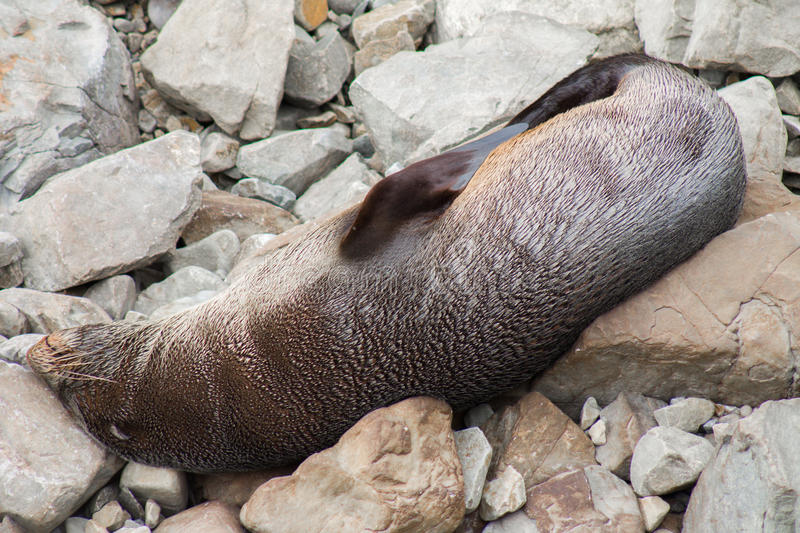 Resting fur seal stock photography