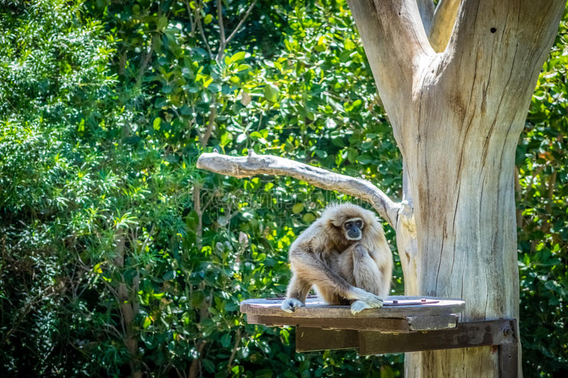 Resting gibbon. A gibbon sitting on a artificial platform attached to a tree in Palmitos Park in Gran Canaria, Spain royalty free stock image