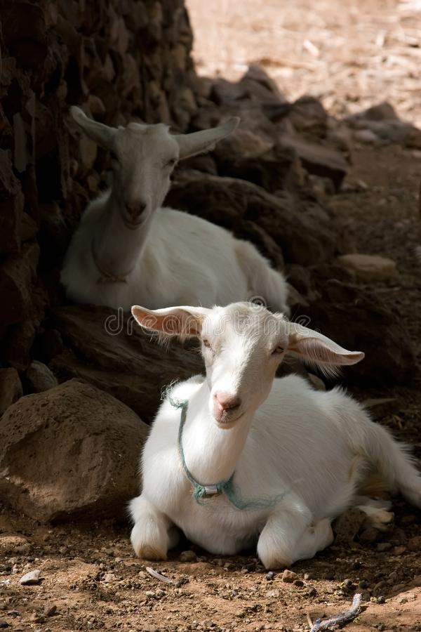 Download Resting Goats stock image. Image of grazing, country, animal - 4781905