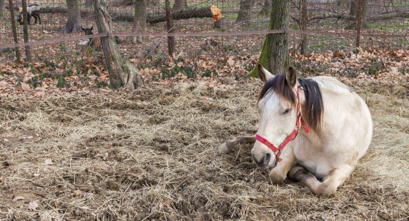 Resting horse royalty free stock photos