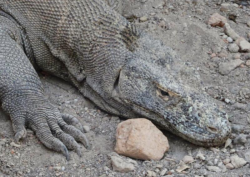 Komodo dragon resting stock photos