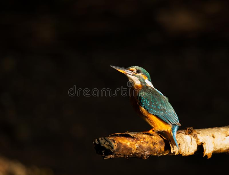 Resting Kingfisher stock image