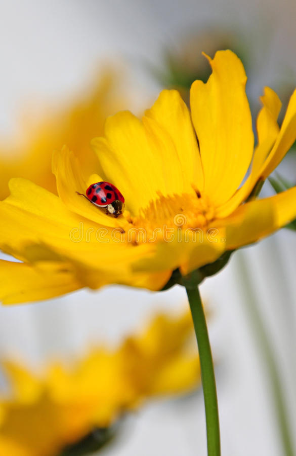 Resting ladybug on flower stock photography