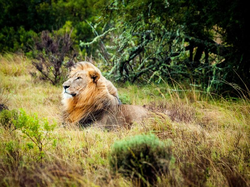 Resting lion stock photography