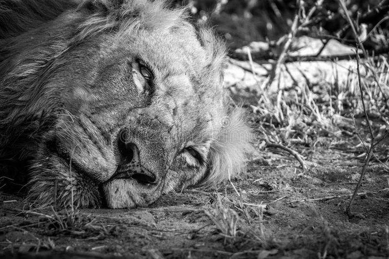 Resting Lion in the Kruger National Park, South Africa. stock image