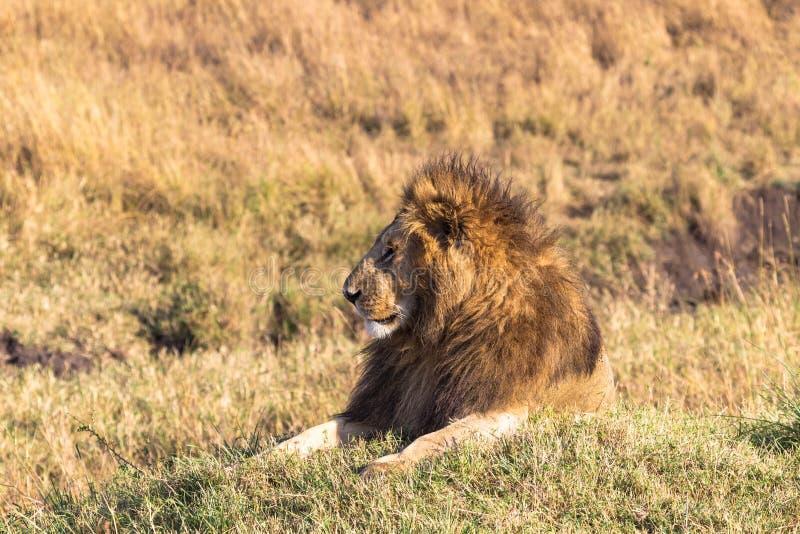 A resting lion. Masai Mara, Kenya. Africa royalty free stock photo