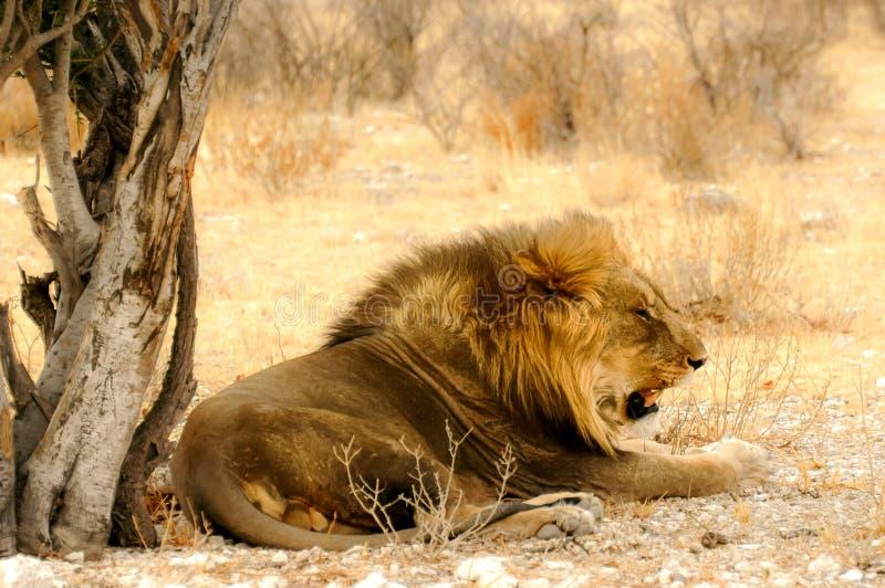Resting Lion. In National park of Etosha stock photos