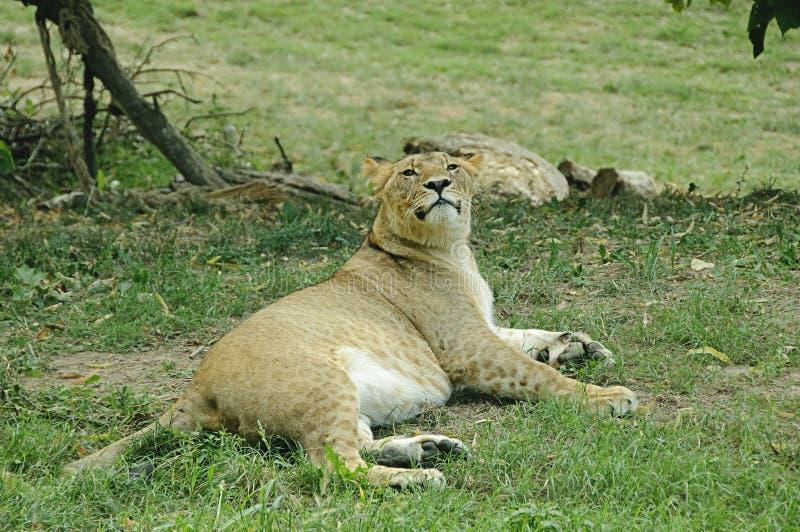 Resting lioness stock photos