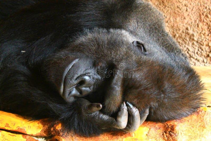 Resting male gorilla stock image