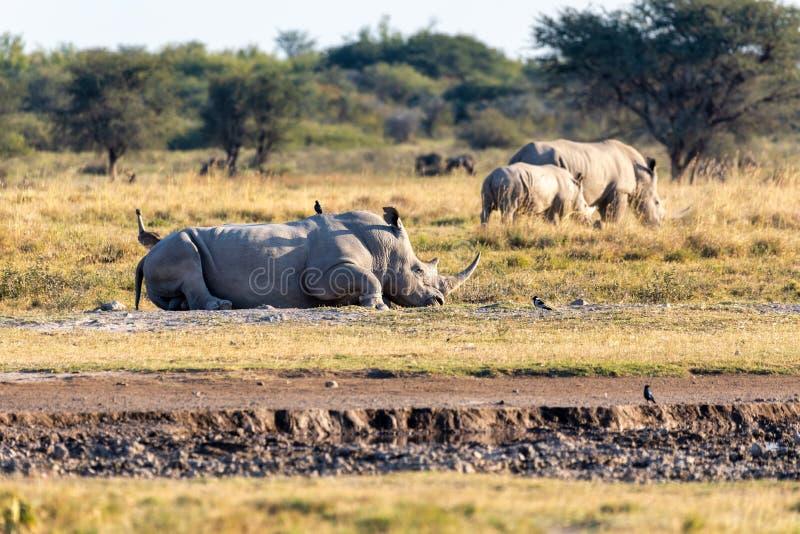 Male of white rhinoceros Botswana, Africa. Resting male of white rhinoceros Khama Rhino Sanctuary reservation, endangered species of rhino, Botswana wildlife stock image
