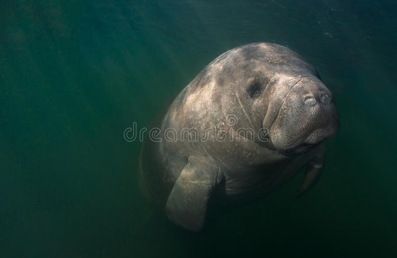 Resting Manatee Close-up. This curious manatee checks out a snorkeler near Homosassa Springs, Florida on a chilly winter morning stock photography