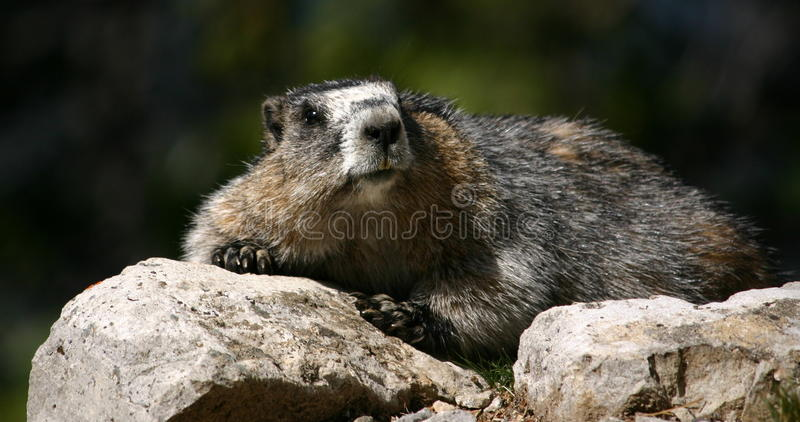Download Resting marmot stock photo. Image of teeth, grandfather - 11291528