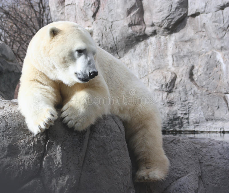 Download Resting Polar Bear Stock Image - Image: 17460301