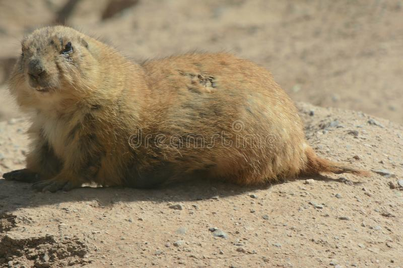 Resting Prairie Dog At Arizona-Sonora Desert Museum. Bright closeup of a captive prairie dog resting quietly atop a large rock, at the Arizona-Sonora Desert royalty free stock photo