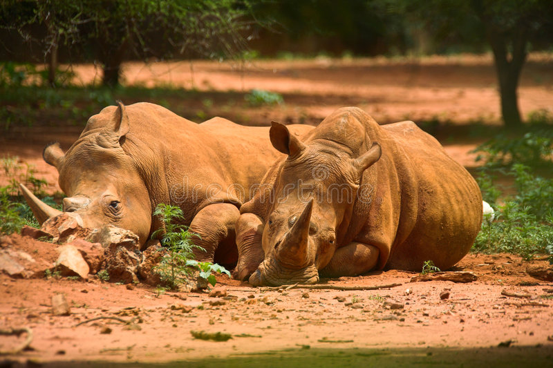 Resting Rhinos Stock Photo