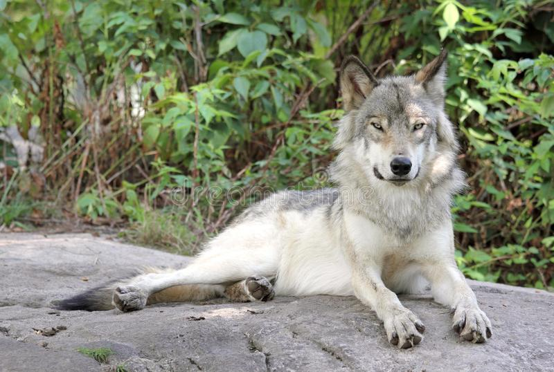 Download Resting on a rock stock image. Image of mammal, wolf - 26220329