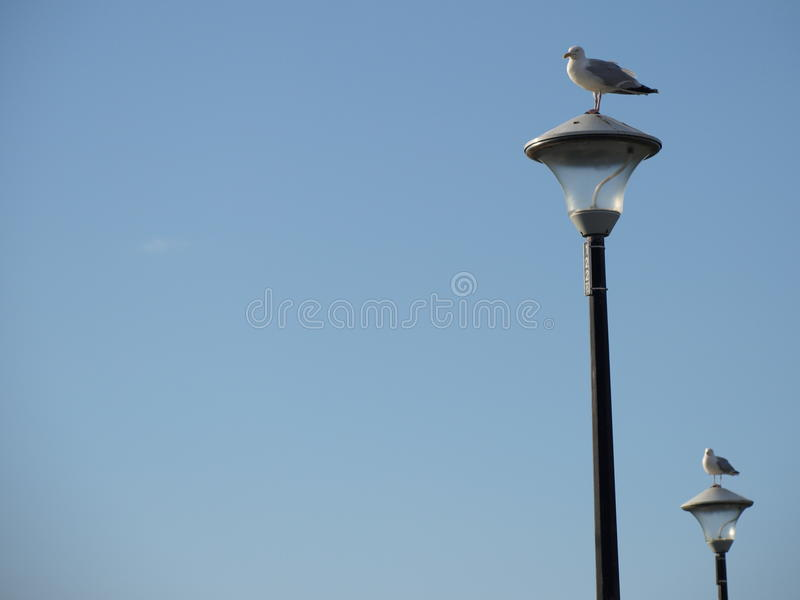 Resting Seagull stock images