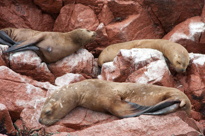 Resting seals royalty free stock photography