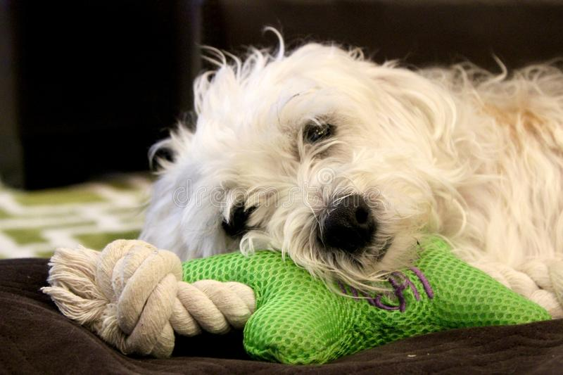 Resting Shaggy White Dog. Close up head shot of shaggy white dog with green chew toy on brown pillow royalty free stock images