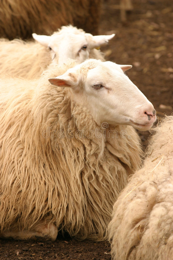 Download Resting sheep stock image. Image of herd, wool, sheep, together - 28381