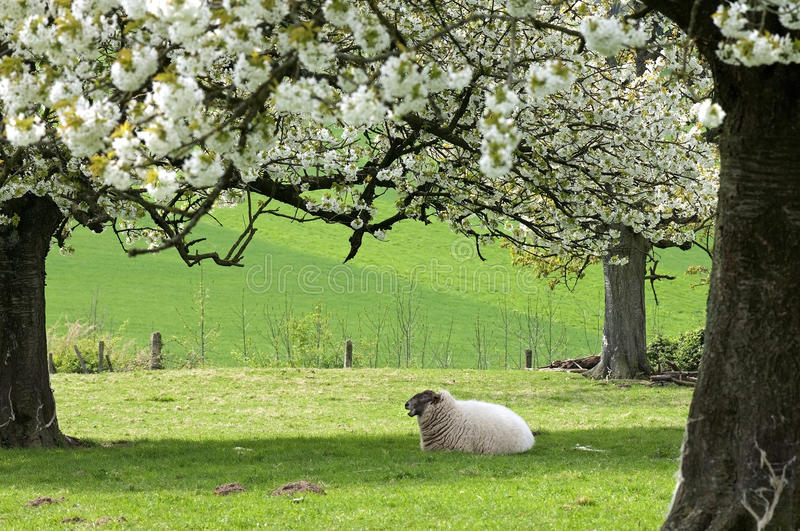 Resting sheep in fruityard in full blossom royalty free stock image